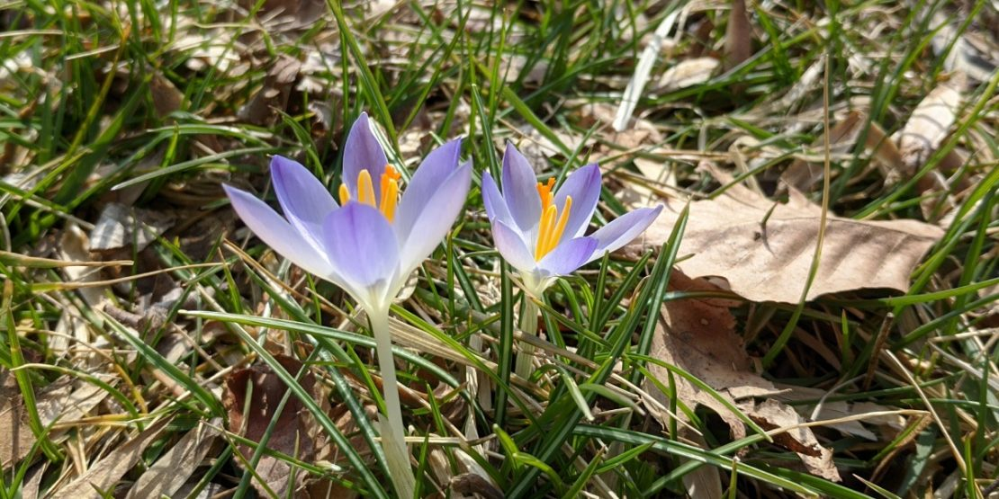 Early crocus blooms at the Gardens at SIUE